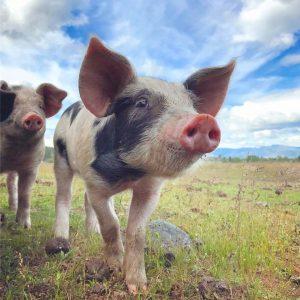 CrowdCow farmers offer free range organic pork